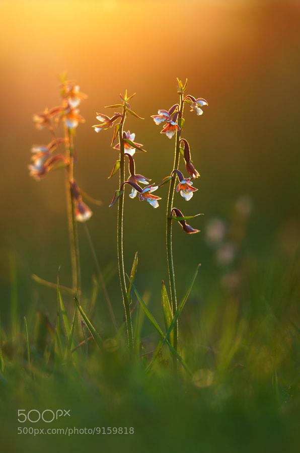 Photograph marsh helleborine by Martin Amm on 500px