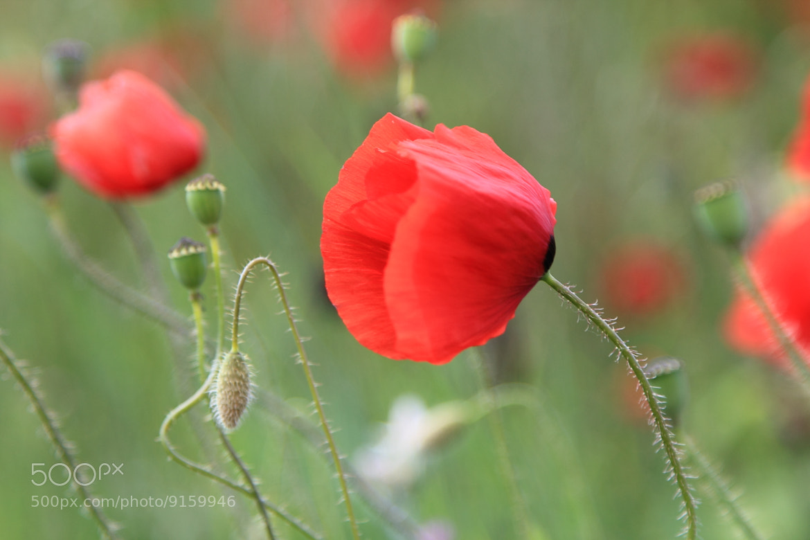 Photograph Poppies by Eva Lechner on 500px
