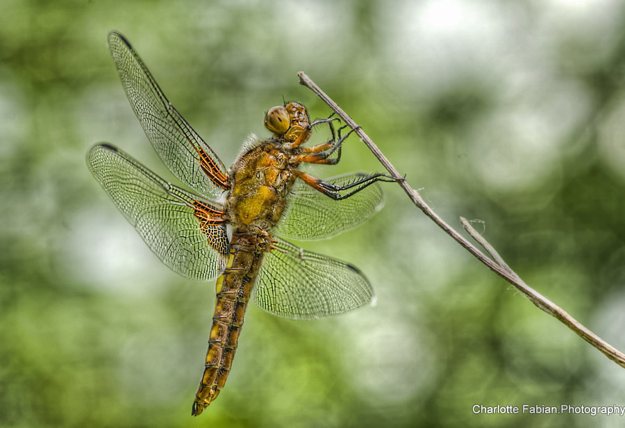 Dragonfly by Charlotte Fabian on 500px.com