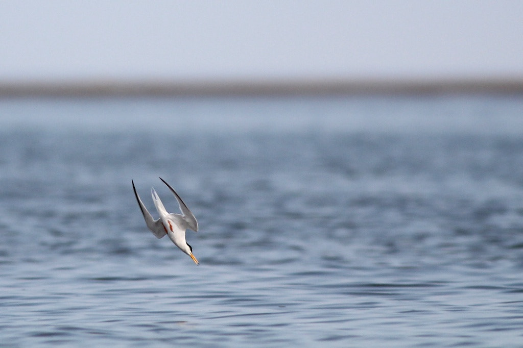 Photograph Little tern diving by Andreas Bennetsen Boe on 500px