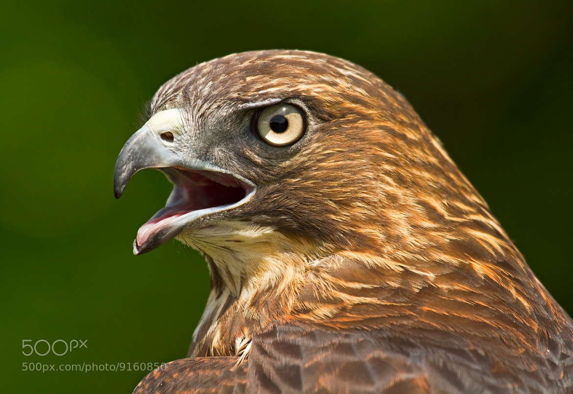 Photograph Broad-winged Hawk by Lorraine Hudgins on 500px