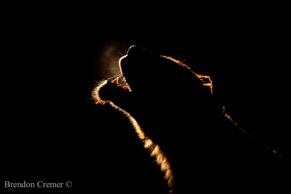 Photograph Backlit Lioness by Brendon Cremer on 500px