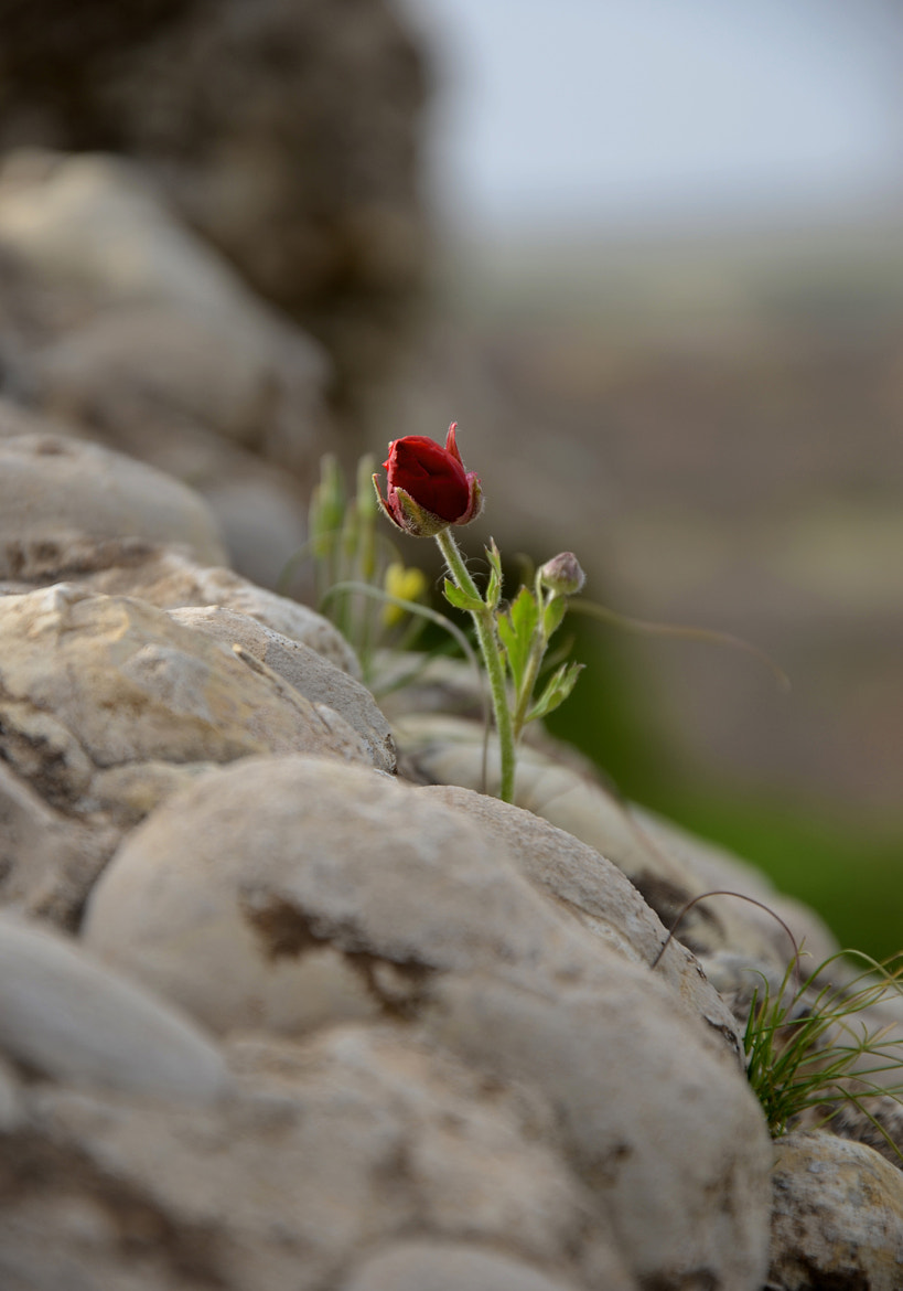 Photograph Bud by MEHDI ROSHAN on 500px