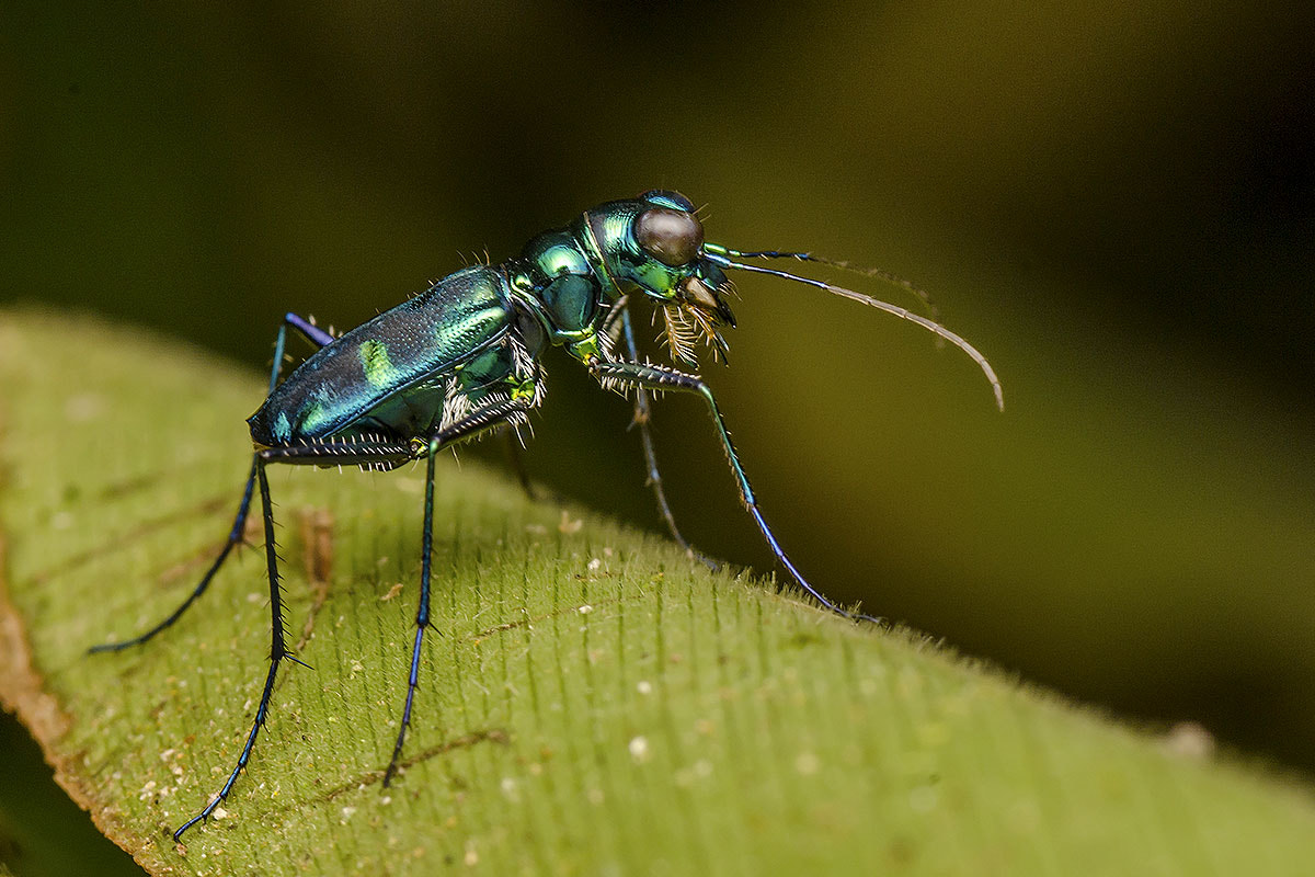 Photograph Tiger Beetle by Marcus Kam on 500px