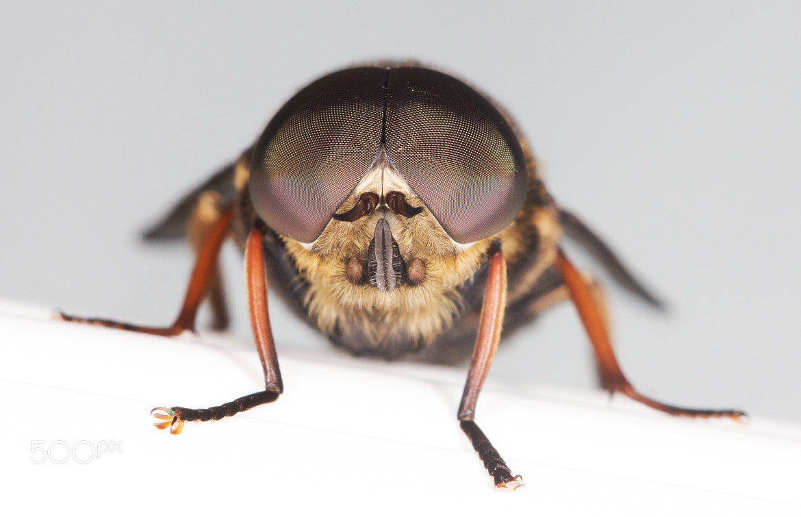 Photograph Tabanus sudeticus (Horsefly) by Mike Smith on 500px