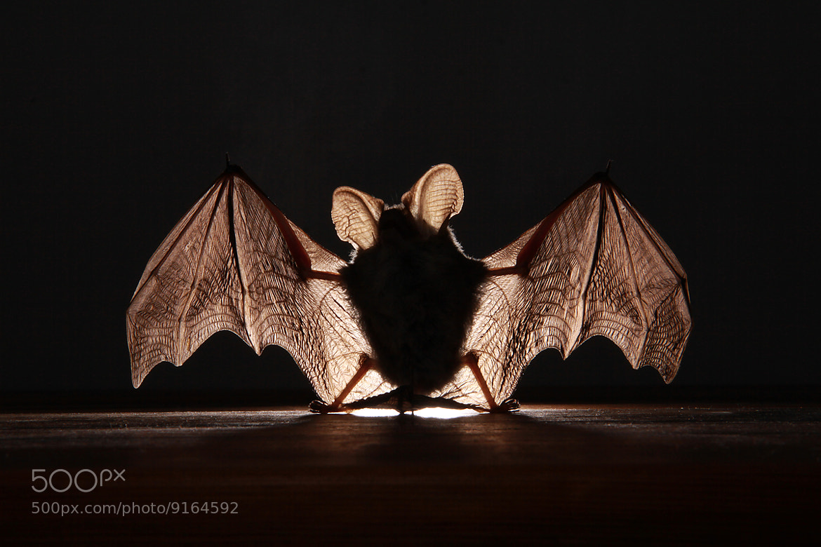 Photograph Mouse with wings by Richard Baxter on 500px