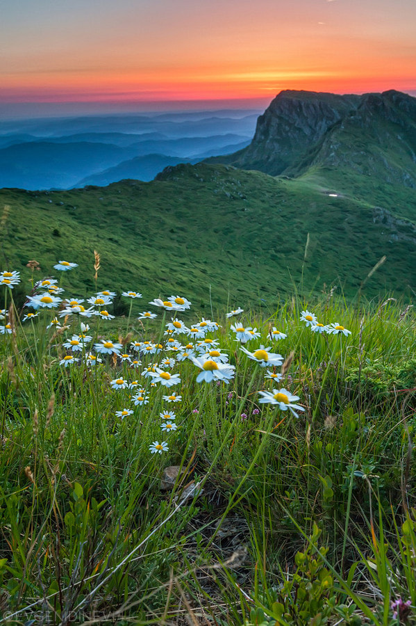 Photograph Daisies by Evgeni Dinev on 500px