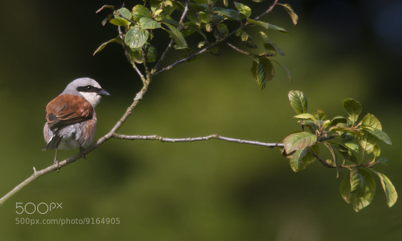 Photograph Red-backed Shrike 3 by Robert Westerhof on 500px