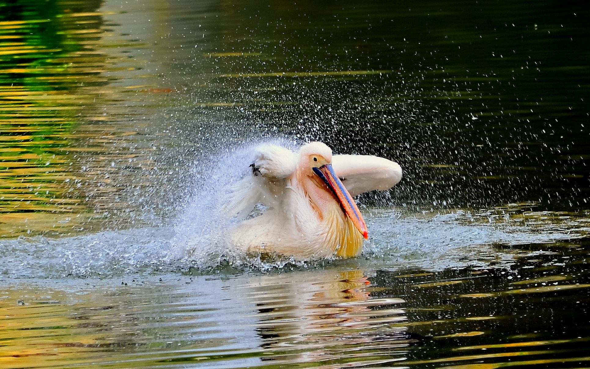 Photograph White Pelican splash#17 by S e i n on 500px