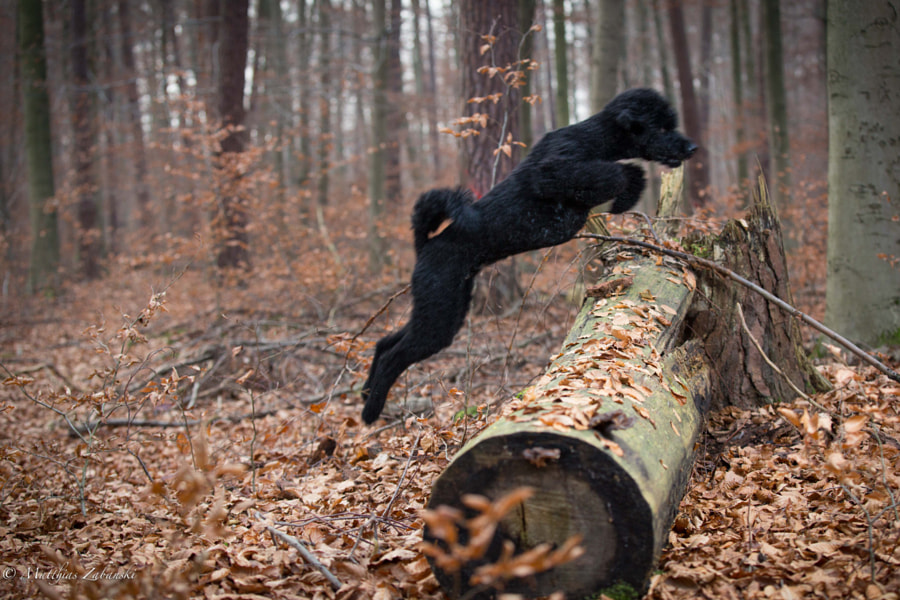 poodle 3 jump..:-)