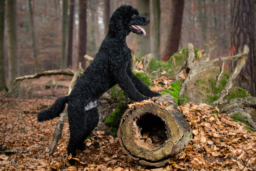 poodle in the forest..