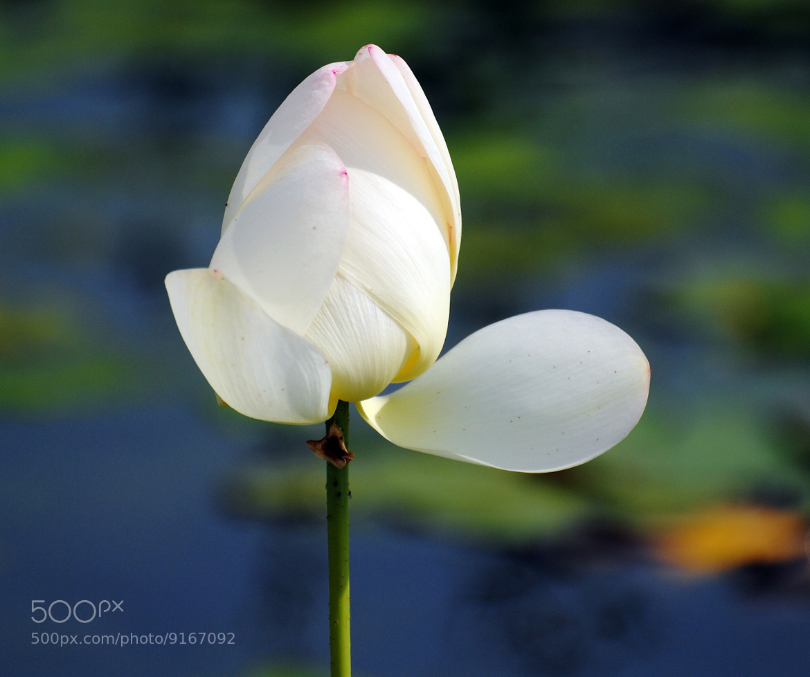 Photograph Flower of pond by Umberto Forlini on 500px