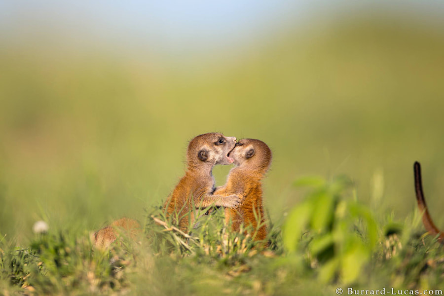 Photograph Playful Meerkats by Will Burrard-Lucas on 500px