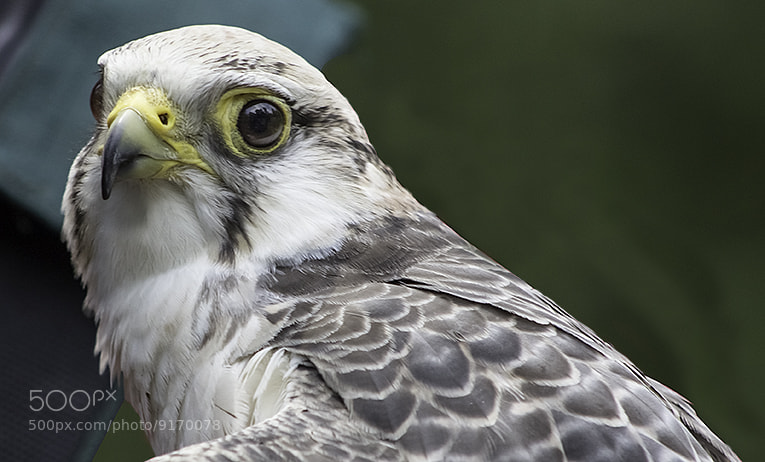 Photograph Falcon by Doug Swinson on 500px