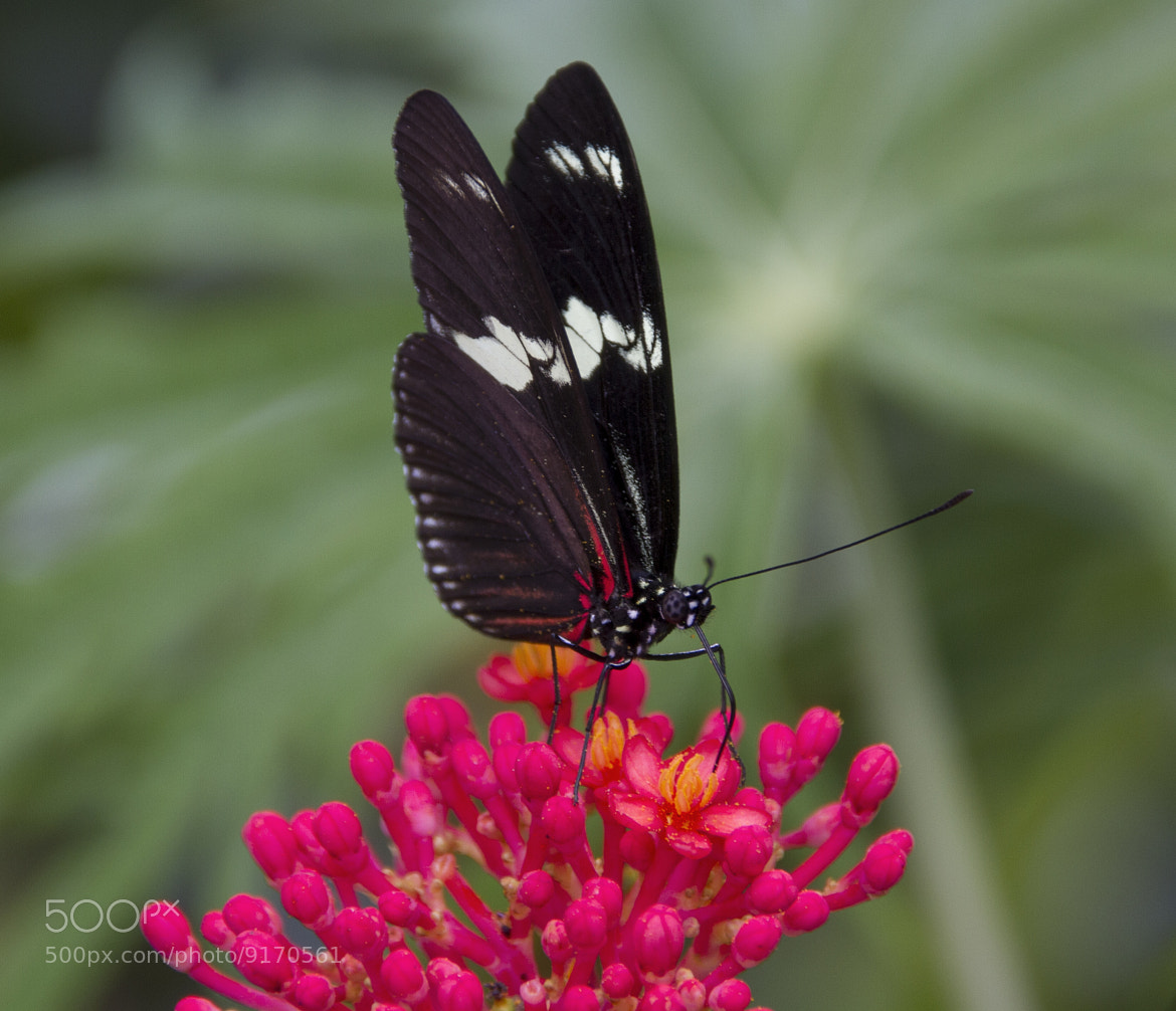 Photograph Butterfly by René Ladenius on 500px