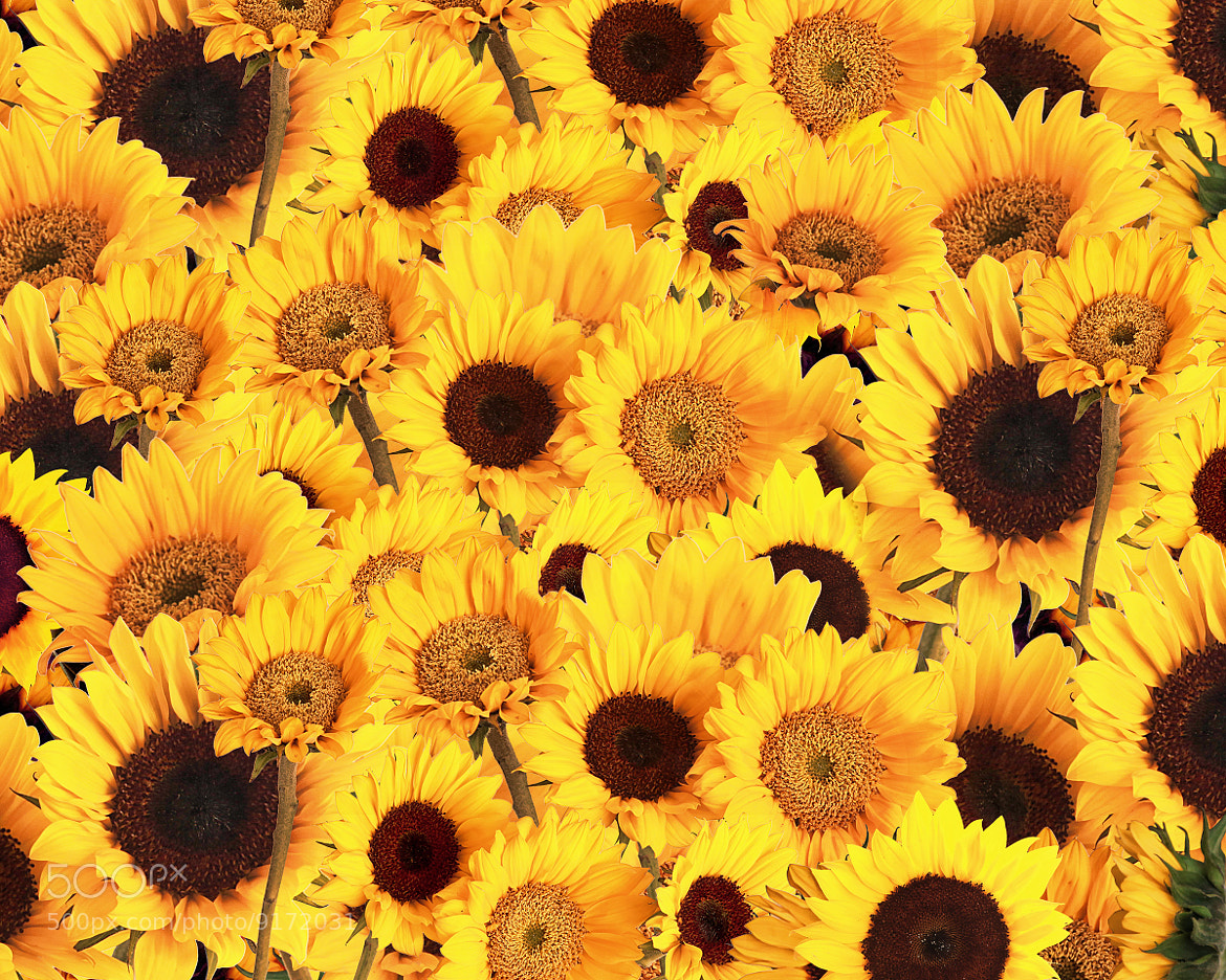 Photograph Sunflowers by Andy Graham on 500px