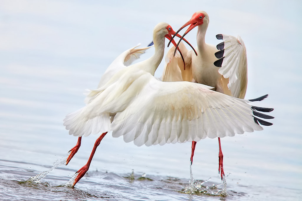Photograph Ibis Engagement by Linn Smith on 500px