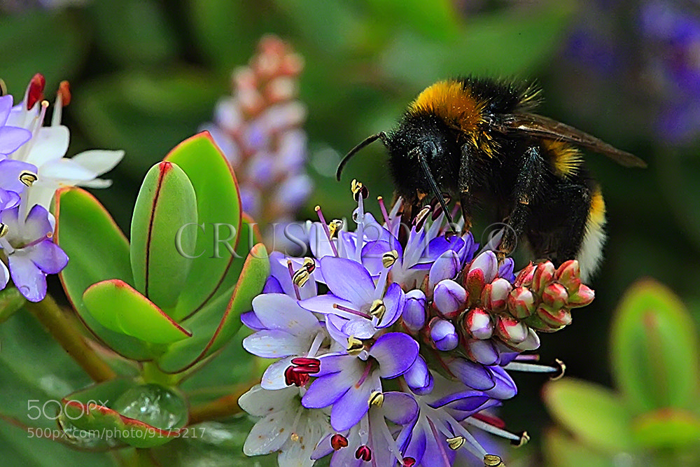 Photograph Busy Little Bee by Martin  Crush on 500px