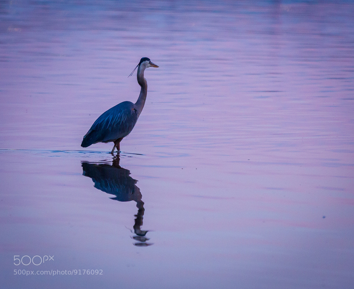 Photograph Blue heron by Kevin Moore on 500px