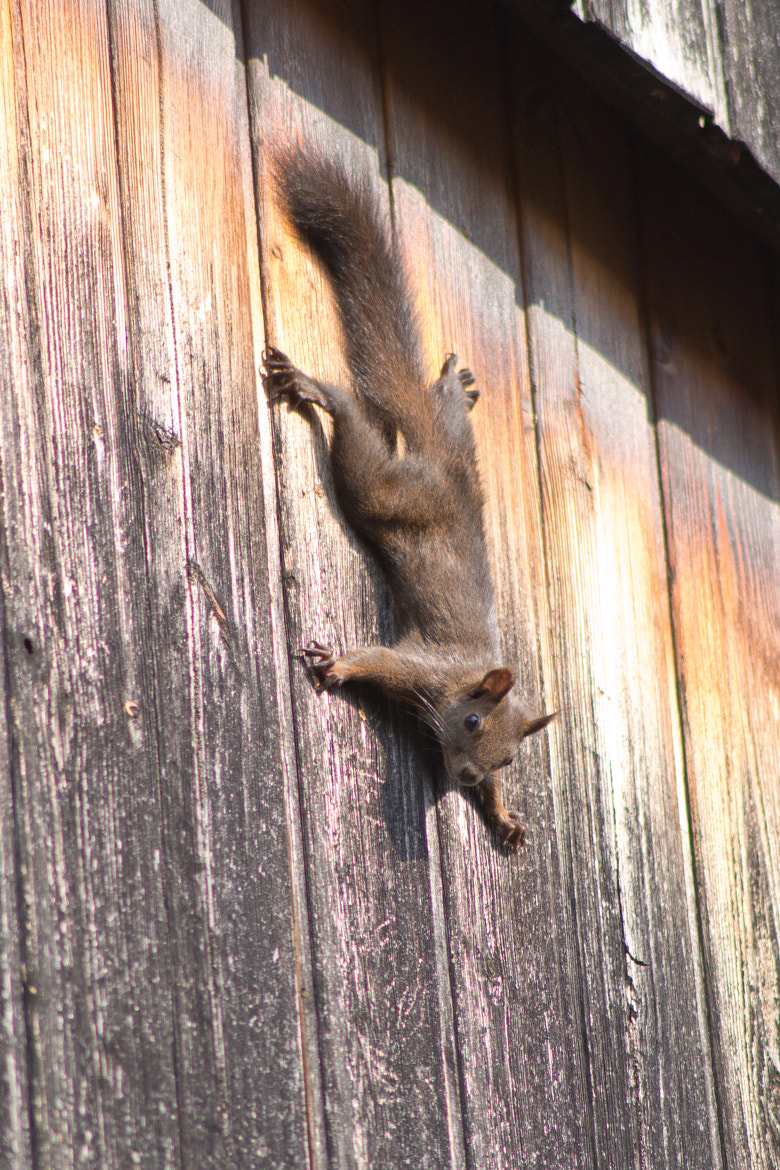 Photograph Squirrel on the wall by Jan Hasenbichler on 500px