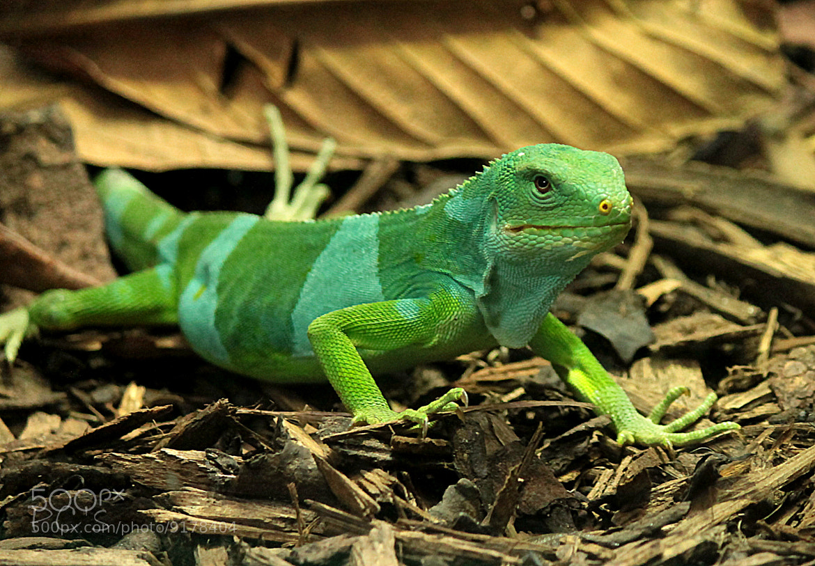 Photograph Fizi Iguana by Prasenjit Chakraborty on 500px