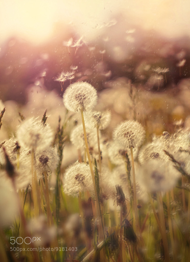 Photograph dandelions by Lena Romashova on 500px