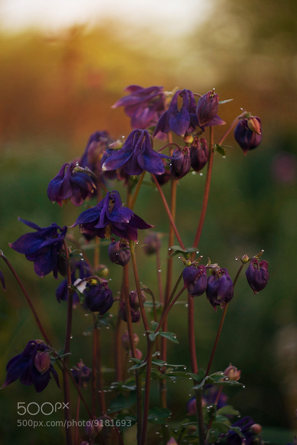 Photograph campanulas by Lena Romashova on 500px
