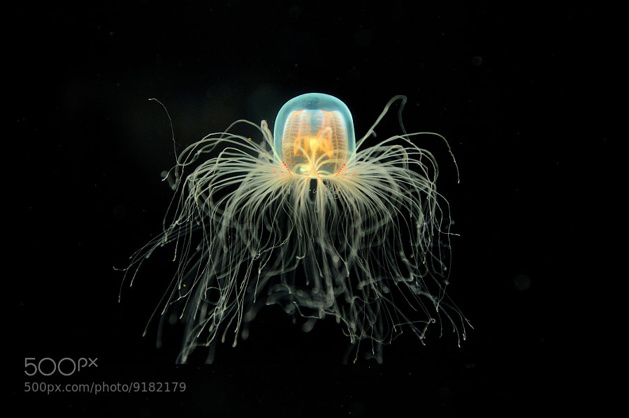 Jellyfish by Yiming Chen (YimingChen) on 500px.com