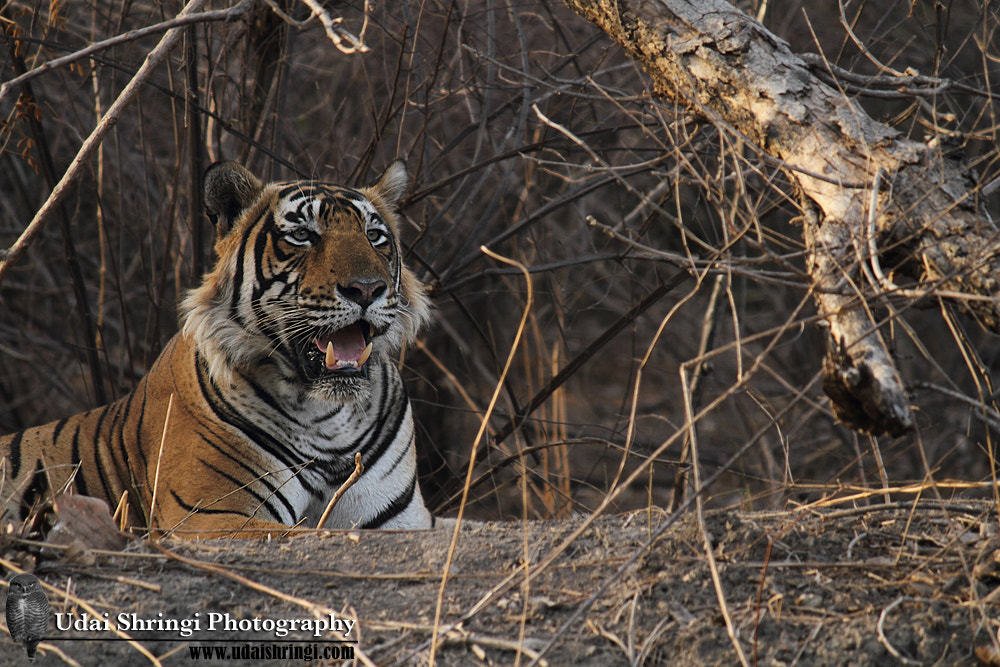 Photograph King Watching his territory .. by Udai Shringi on 500px