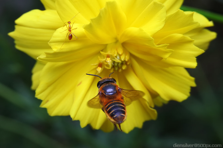 Photograph Bee , ant and flower by Diens Silver on 500px