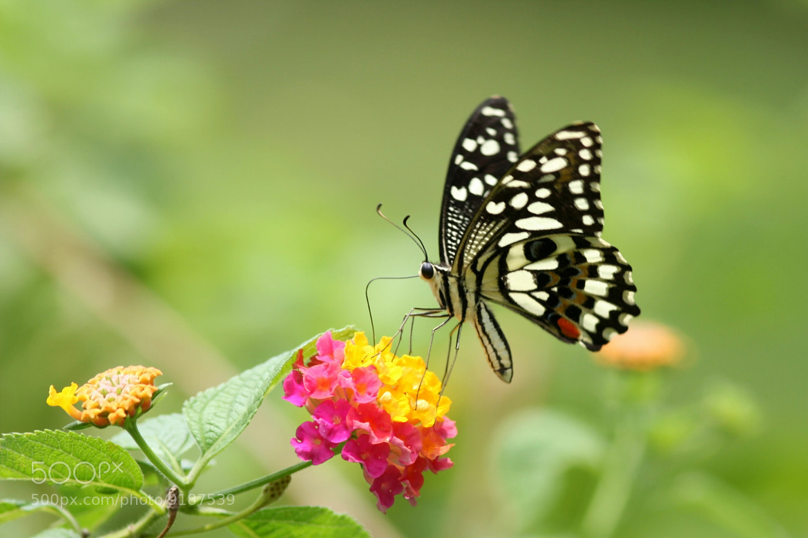 Photograph Papilio demoleus libanius by 跑 步機 on 500px