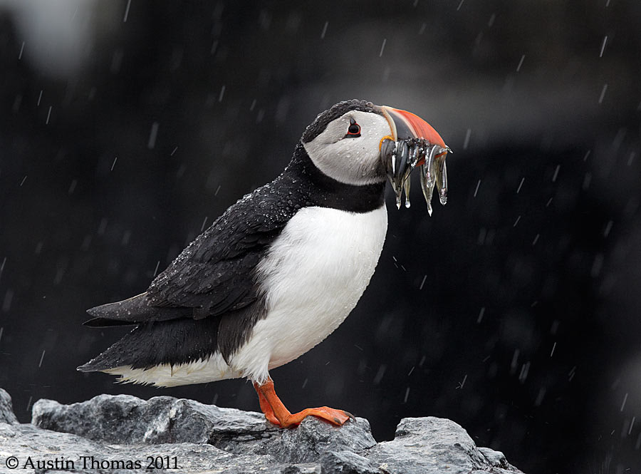 Photograph Soaking wet Puffin by Project Puffin on 500px
