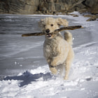 Постер, плакат: Running with Big Stick in the Snow