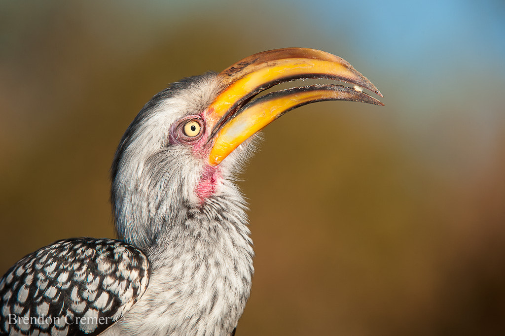 Photograph Yellow Billed Horn Bill by Brendon Cremer on 500px