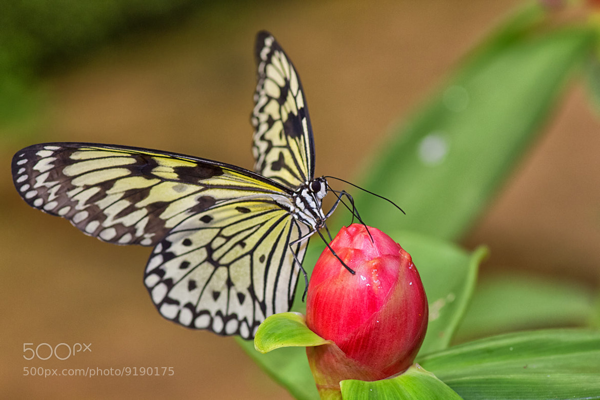 Photograph Butterfly III by Kim Schandorff on 500px