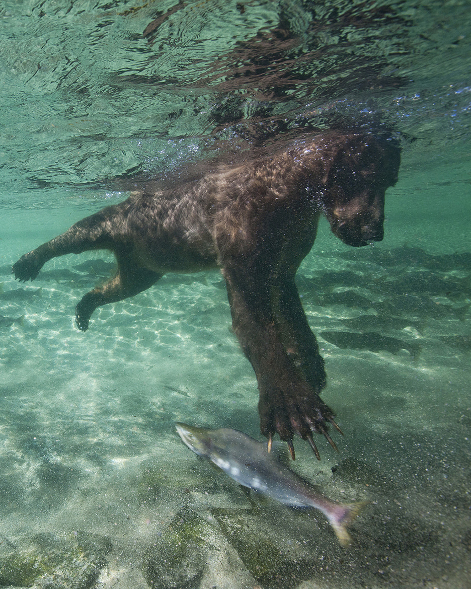 Photograph Fishing Grizzly Bear by Paul Souders | WorldFoto on 500px