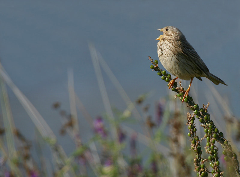 Photograph Singing Corn Bunting by Aat Bender on 500px