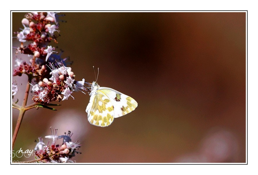 Photograph Euchloe belemia by HUSEYIN AY on 500px