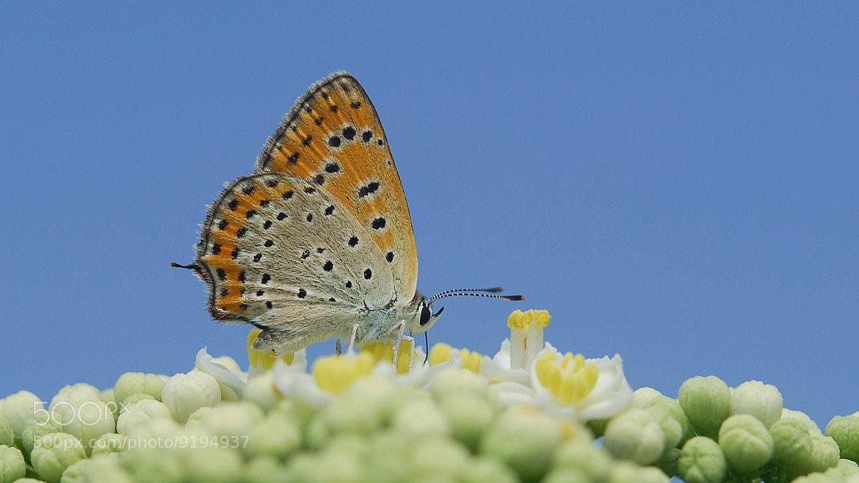 Photograph Lycaena thersamon by ilker kursun on 500px