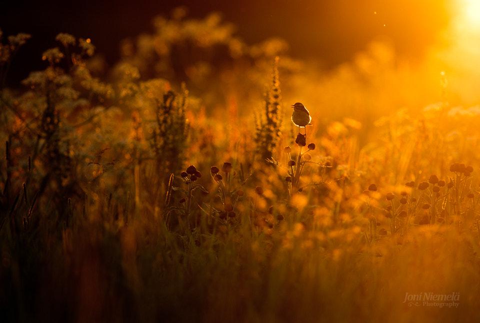 Photograph Summer evening and Whinchat by Joni Niemelä on 500px