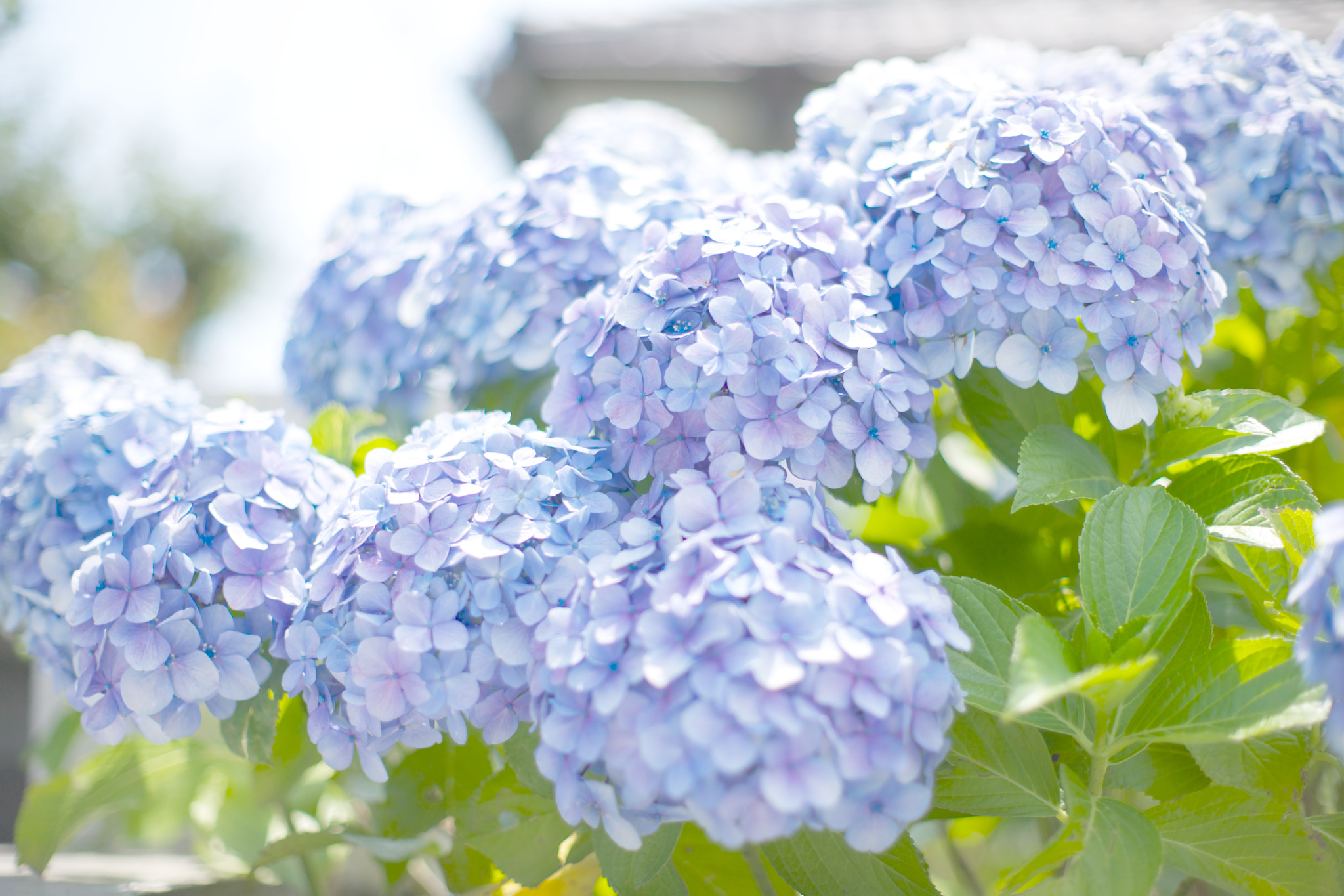 Photograph A lot of hydrangeas. by marbee .info on 500px