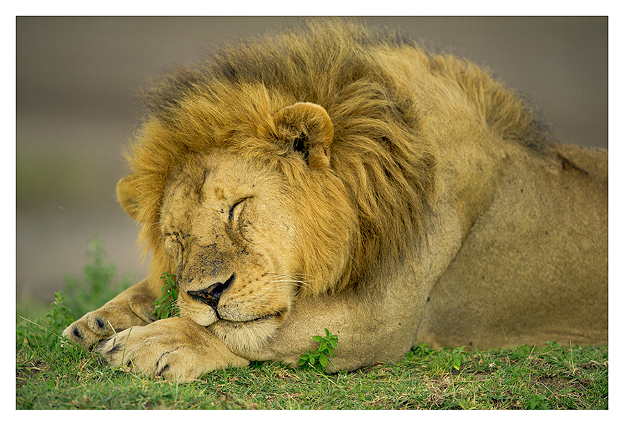 Sleeping Lion by nara simhan on 500px.com