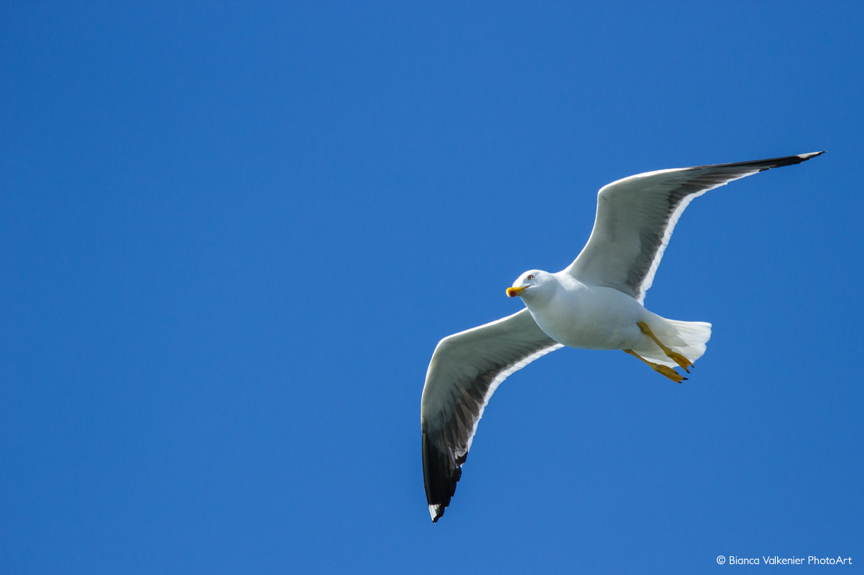 Photograph Seagull by Bianca Valkenier on 500px