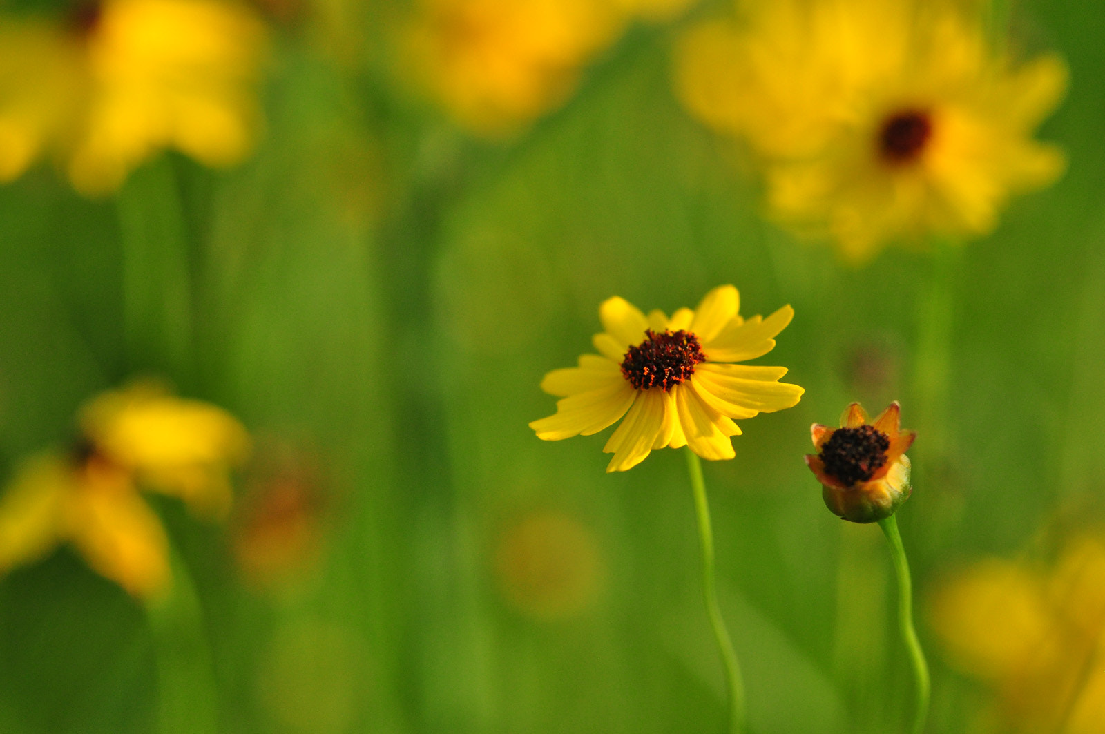 Photograph Coreopsis (Tickseed) by Suzanne Williams on 500px