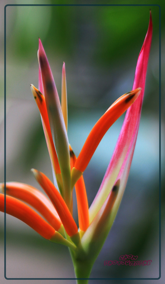 Photograph ...Bird of Paradise... by thicha chan on 500px