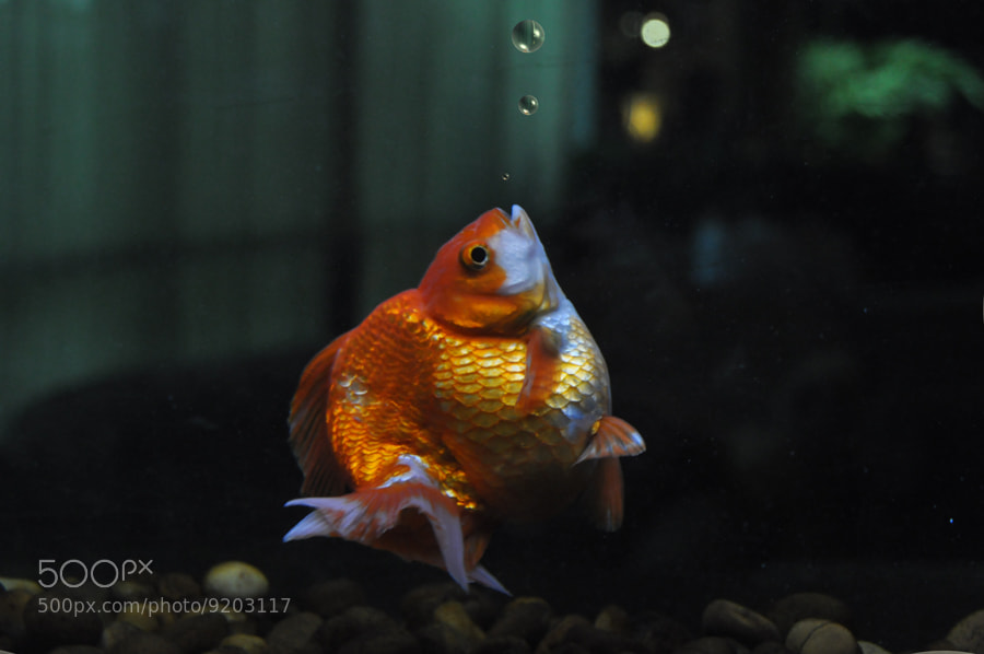 Photograph Gold Fish 4 by Khoo Boo Chuan on 500px