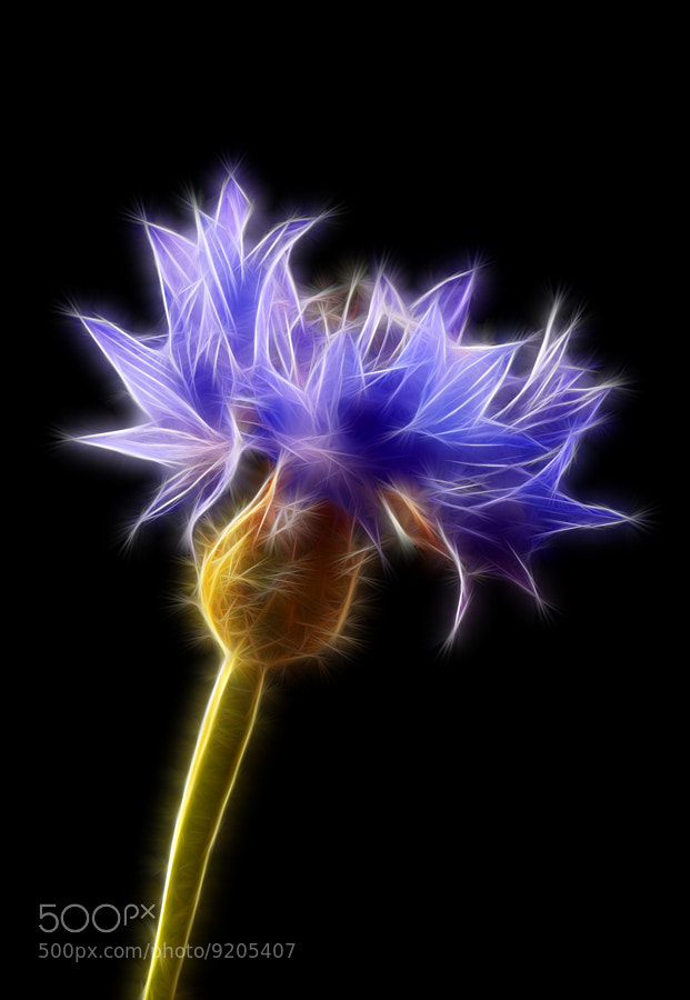 Photograph Centaurea cyanus (cornflower) by Vendenis . on 500px