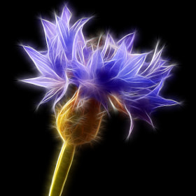 Centaurea cyanus (cornflower) by Vendenis . (Vendenis)) on 500px.com