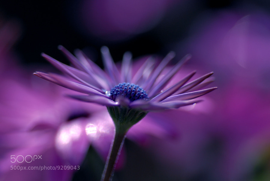 Photograph Purple fantasy by Lafugue Logos on 500px