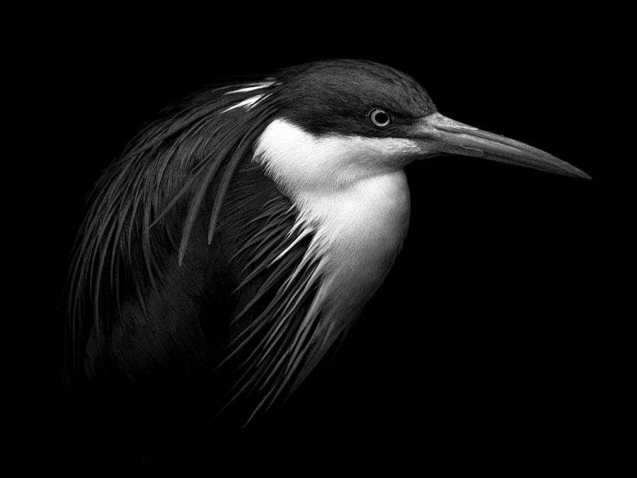 The Heron by Miraks Subba on 500px.com
